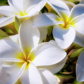 White and Yellow Plumeria 2 by Brian Harig