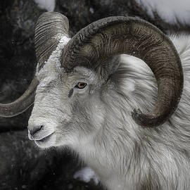 White Bighorn Sheep by Tammy Lauritsen