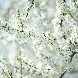 Jenny Rainbow - White Bloom of  Cherry Plum Tree
