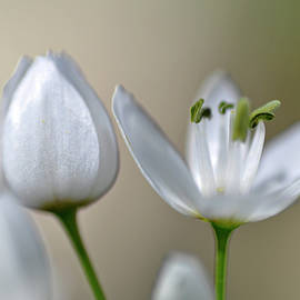 White Blossom 1 by Dubi Roman