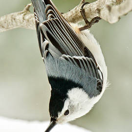 White Breasted Nuthatch 1910 by Michael Peychich