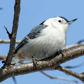 Ricky L Jones - White-breasted Nuthatch Perched