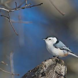 Michael Peychich - White Breasted Nuthatch Winter