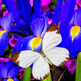 White Butterfly On Blue Iris - Garry Gay