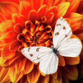 White Butterfly On Dahlia - Garry Gay