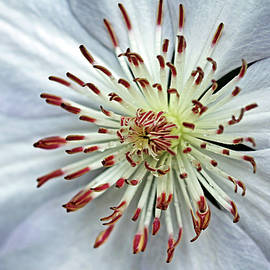 White Clematis With Raindrops by Debbie Oppermann