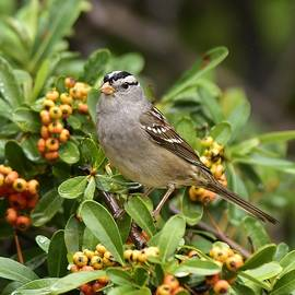 White Crowned Sparrow 2 by Linda Brody