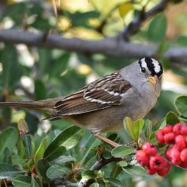 White Crowned Sparrow 1 by Linda Brody