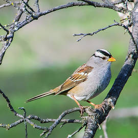 Alan C Wade - White-crowned Sparrow - Adult 3
