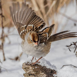 White-Crowned Sparrow Landing
