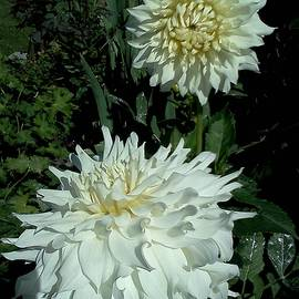 Barbara Sheehan - White Dahlia