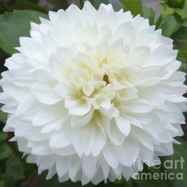 Rose Santuci-Sofranko - White Dahlia Flower Soft Effect