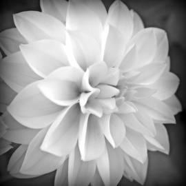 White Dahlia In Black And White by Kay Novy