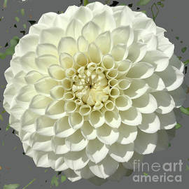 White Dahlia by Robin Maria Pedrero
