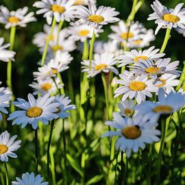 Vishwanath Bhat - White Daisies in full bloom