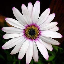 White Daisy by Brian Eberly