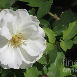 Elisabeth Lucas - White Desert Rose