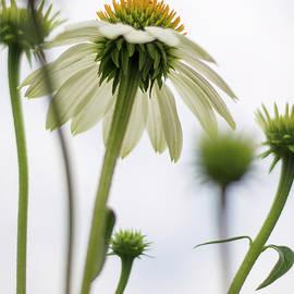 White Echinacea by Heather Applegate