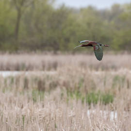 White-faced Ibis 2017-3 by Thomas Young