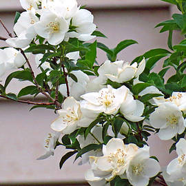 Kay Novy - White Flowering Spring Bush