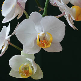 White Flowers Orchids by Juergen Roth