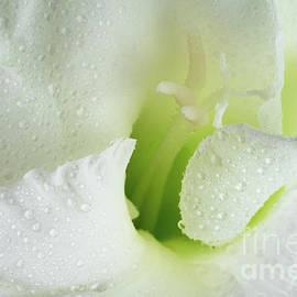 White Gladiolus Tears by Ann Garrett