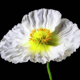 White Glowing Poppy - Garry Gay