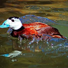 Cynthia Guinn - White Headed Duck