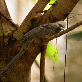 Chris Flees - White Headed Mousebird