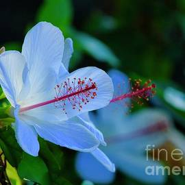 Craig Wood - White Hibiscus