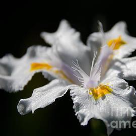 Andrea Anderegg - White Iris