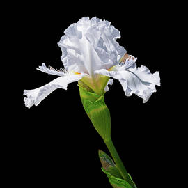 White Iris with Black Background by Lowell Monke