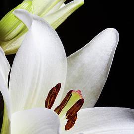Phyllis Denton - White Lily Promise