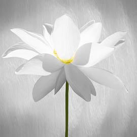 Steven  Michael - White Lotus Flower