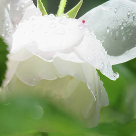 Brooks Garten Hauschild - White Magic Rose with Raindrops - Floral Photography