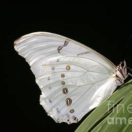 White Morpho Butterfly  by Ruth Jolly