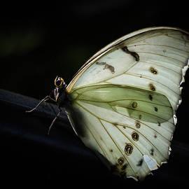 White Morpho In The Moonlight by Robin Zygelman