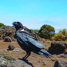 White-Necked Raven Overlooking Mount Meru by Jeff at JSJ Photography