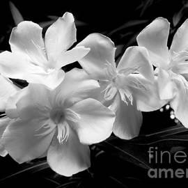 Amar Sheow - White Oleander