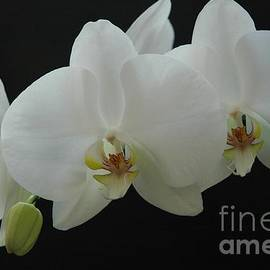 Jane Gatward - White Orchid