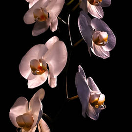 White Orchids by David Coblitz