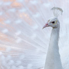 White Peacock by Sebastian Musial