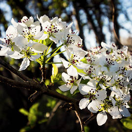 Denise Harty - White Pear Blossoms