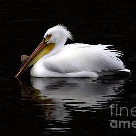 White Pelican Reflection by Vickie Emms