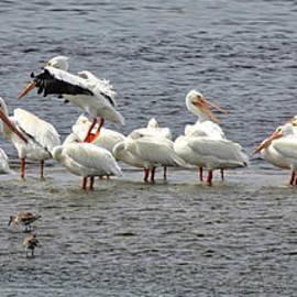 Carol Groenen - White Pelicans Panorama