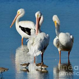 White Pelicans Preening by Patricia Twardzik