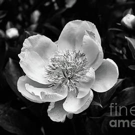 White Peony Flower in Black and White by Norma Brandsberg