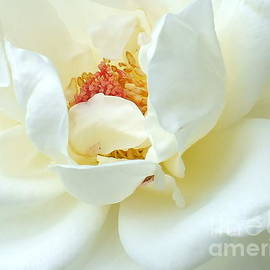 Cindy Treger - White Perfection - Rose