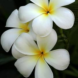 White Plumeria by Sabrina L Ryan