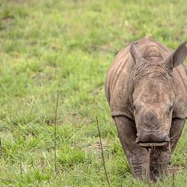 Cindi Alvarado - White Rhino Calf- Cerototherium simium